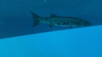 A barracuda that was hanging out under the dive boat when we surfaced.