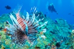 A lionfish, a very pretty - but VERY invasive! - species in the Caribbean.